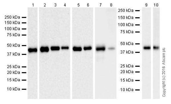 Western blot - Anti-IDH1 antibody [EPR21002] (ab230949)