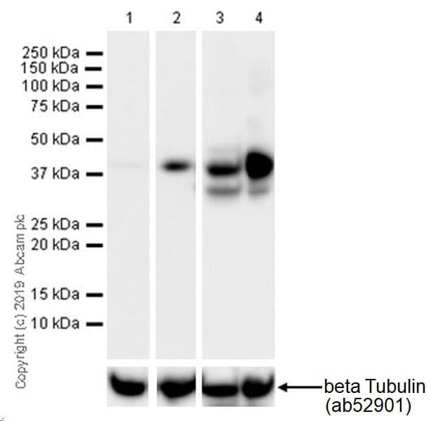 Western blot - Anti-LINE-1 ORF1p antibody [EPR22227-54] (ab230966)