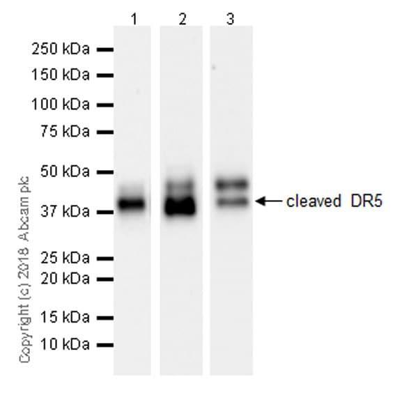 Western blot - Anti-DR5 antibody [EPR22276] (ab230969)
