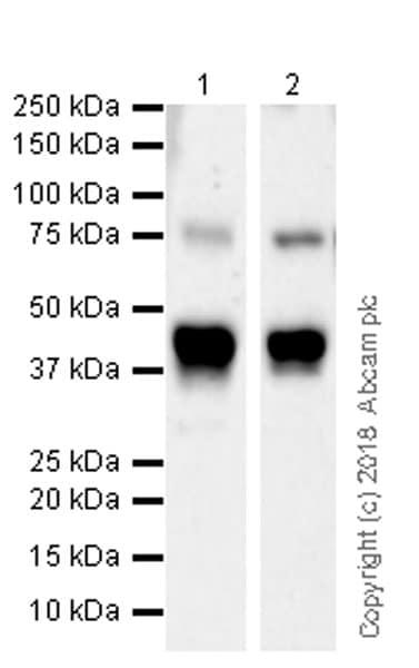 Western blot - Anti-PKC theta/PRKCQ antibody [EPR22281] (ab230972)