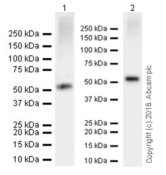 Western blot - Anti-DPEP1/MDP antibody [EPR22225] (ab230978)