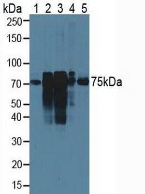 Western blot - Anti-Cortactin antibody (ab230992)
