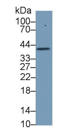 Western blot - Anti-Haptoglobin antibody (ab231013)