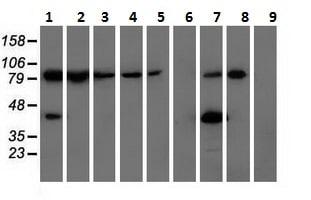 Western blot - Anti-ALDH1L1 antibody [2A6] (ab231018)