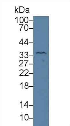 Western blot - Anti-Kallikrein 4 antibody (ab231048)