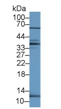 Western blot - Anti-UCN2/SRP antibody (ab231050)