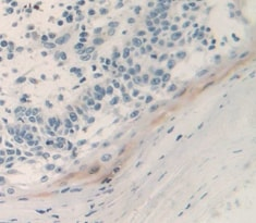 Immunohistochemistry (Formalin/PFA-fixed paraffin-embedded sections) - Anti-UCN2/SRP antibody (ab231050)