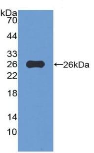 Western blot - Anti-VWA3A antibody (ab231066)