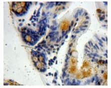 Immunohistochemistry (Formalin/PFA-fixed paraffin-embedded sections) - Anti-VWA3A antibody (ab231066)