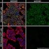 Immunocytochemistry/ Immunofluorescence - Anti-Src antibody [GD11] (ab231081)
