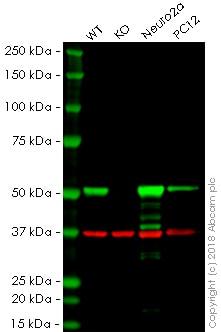 Western blot - Anti-beta III Tubulin antibody [5G8] (ab231084)