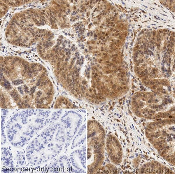 Immunohistochemistry (Formalin/PFA-fixed paraffin-embedded sections) - Anti-ERK2 antibody [1B3B9] (ab231085)