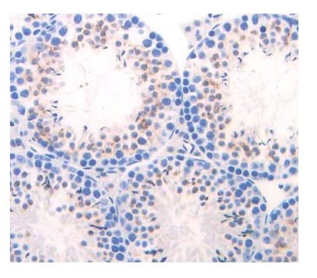 Immunohistochemistry (Formalin/PFA-fixed paraffin-embedded sections) - Anti-Elastase-1 antibody (ab231117)