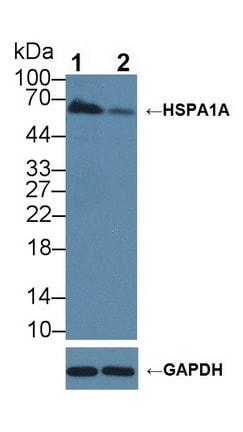 Western blot - Anti-Hsp70 antibody (ab231128)