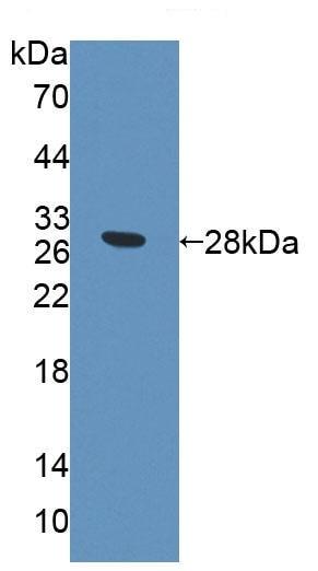 Western blot - Anti-PCDHA1 antibody (ab231152)