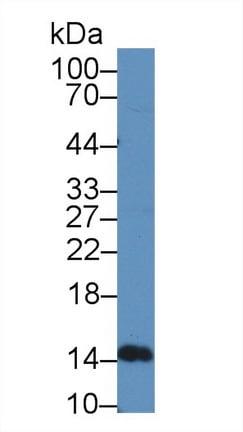 Western blot - Anti-IFNA5 antibody (ab231154)