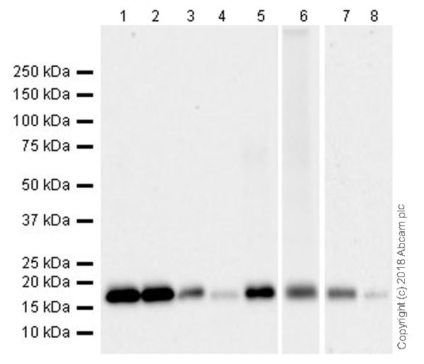 Western blot - Anti-Cyclophilin F antibody [EPR11311-121] (ab231155)