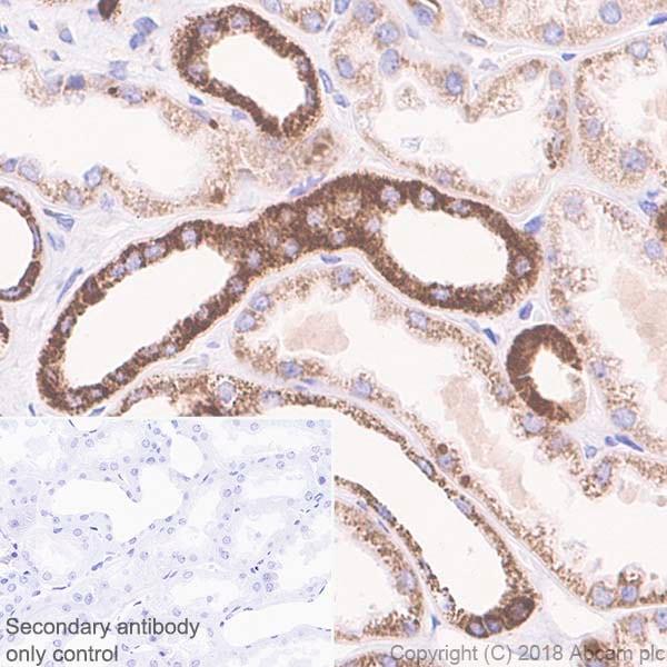 Immunohistochemistry (Formalin/PFA-fixed paraffin-embedded sections) - Anti-Cyclophilin F antibody [EPR11311-121] (ab231155)