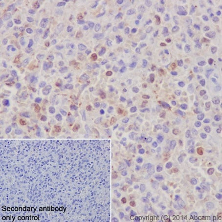 Immunohistochemistry (Formalin/PFA-fixed paraffin-embedded sections) - Anti-IRF5 antibody [EPR17067] - BSA and Azide free (ab231163)