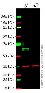 Western blot - Anti-IRF5 antibody [EPR17067] - BSA and Azide free (ab231163)