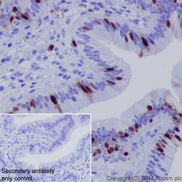 Immunohistochemistry (Formalin/PFA-fixed paraffin-embedded sections) - Anti-Cyclin A2 antibody [EPR17351] - BSA and Azide free (ab231164)