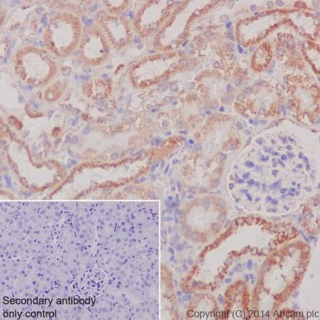 Immunohistochemistry (Formalin/PFA-fixed paraffin-embedded sections) - Anti-COX IV antibody [EPR9442(ABC)] - BSA and Azide free (ab231168)