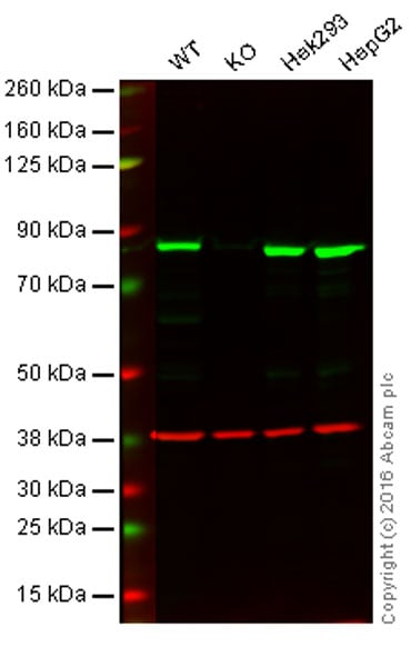Western blot - Anti-HADHA antibody [EPR17940] - BSA and Azide free (ab231169)