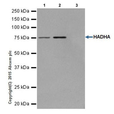 Immunoprecipitation - Anti-HADHA antibody [EPR17940] - BSA and Azide free (ab231169)