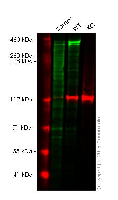 Western blot - Anti-Ki67 antibody [SP6] - BSA free (ab231172)