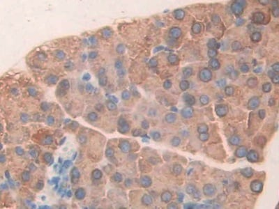 Immunohistochemistry (Formalin/PFA-fixed paraffin-embedded sections) - Anti-CUZD1/Erg1 antibody (ab231173)