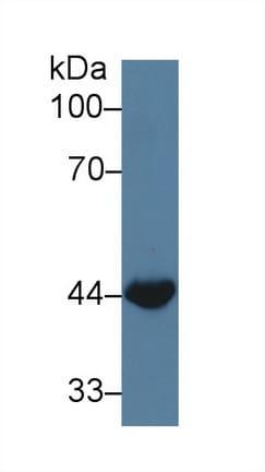 Western blot - Anti-Wnt3a antibody (ab231178)
