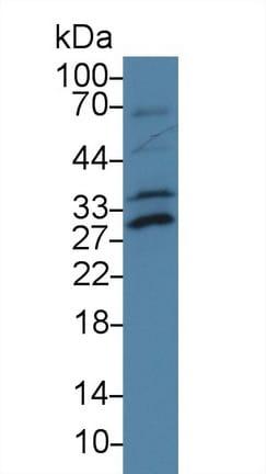 Western blot - Anti-ATF1 antibody (ab231180)