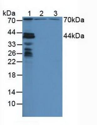 Western blot - Anti-NUP88 antibody (ab231187)
