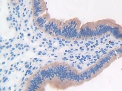Immunohistochemistry (Formalin/PFA-fixed paraffin-embedded sections) - Anti-LRG1/LRG antibody (ab231188)