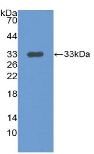 Western blot - Anti-LRG1/LRG antibody (ab231194)