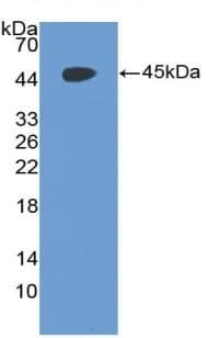 Western blot - Anti-CD97 antibody (ab231196)