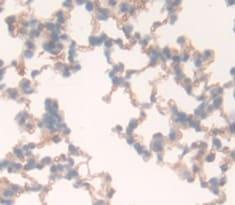 Immunohistochemistry (Formalin/PFA-fixed paraffin-embedded sections) - Anti-CD97 antibody (ab231196)