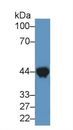 Western blot - Anti-Creatine Kinase MM antibody (ab231200)
