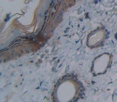 Immunohistochemistry (Formalin/PFA-fixed paraffin-embedded sections) - Anti-DNASE1L2/DHP1 antibody (ab231232)