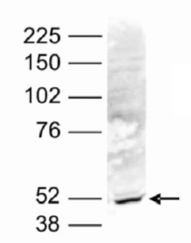 Western blot - Anti-BAF53b antibody (ab231252)