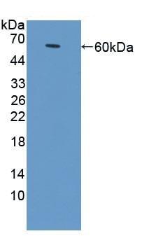 Western blot - Anti-CD166 antibody (ab231262)