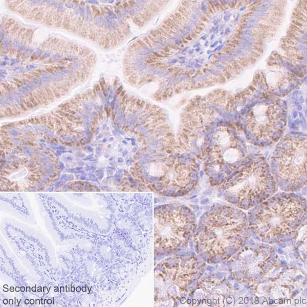 Immunohistochemistry (Formalin/PFA-fixed paraffin-embedded sections) - Anti-Cyclophilin F antibody [EPR11311-121] - BSA and Azide free (ab231287)