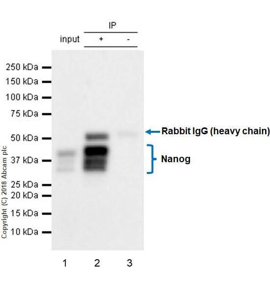 Immunoprecipitation - Anti-Nanog antibody [EPR20694] - BSA and Azide free (ab231300)