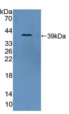 Western blot - Anti-PSMA antibody (ab231319)