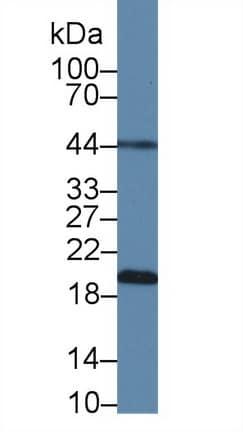 Western blot - Anti-OPA3 antibody (ab231328)