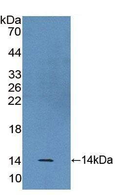 Western blot - Anti-BANF1/BAF antibody (ab231331)
