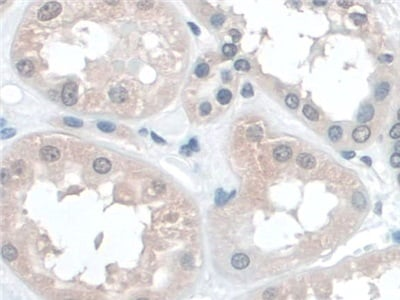Immunohistochemistry (Formalin/PFA-fixed paraffin-embedded sections) - Anti-BANF1/BAF antibody (ab231331)