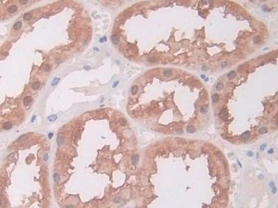 Immunohistochemistry (Formalin/PFA-fixed paraffin-embedded sections) - Anti-ACY-1 antibody (ab231332)