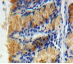 Immunohistochemistry (Formalin/PFA-fixed paraffin-embedded sections) - Anti-Caspase-6/CASP-6 antibody (ab231349)