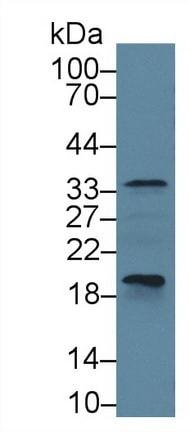 Western blot - Anti-Caspase-6/CASP-6 antibody (ab231349)
